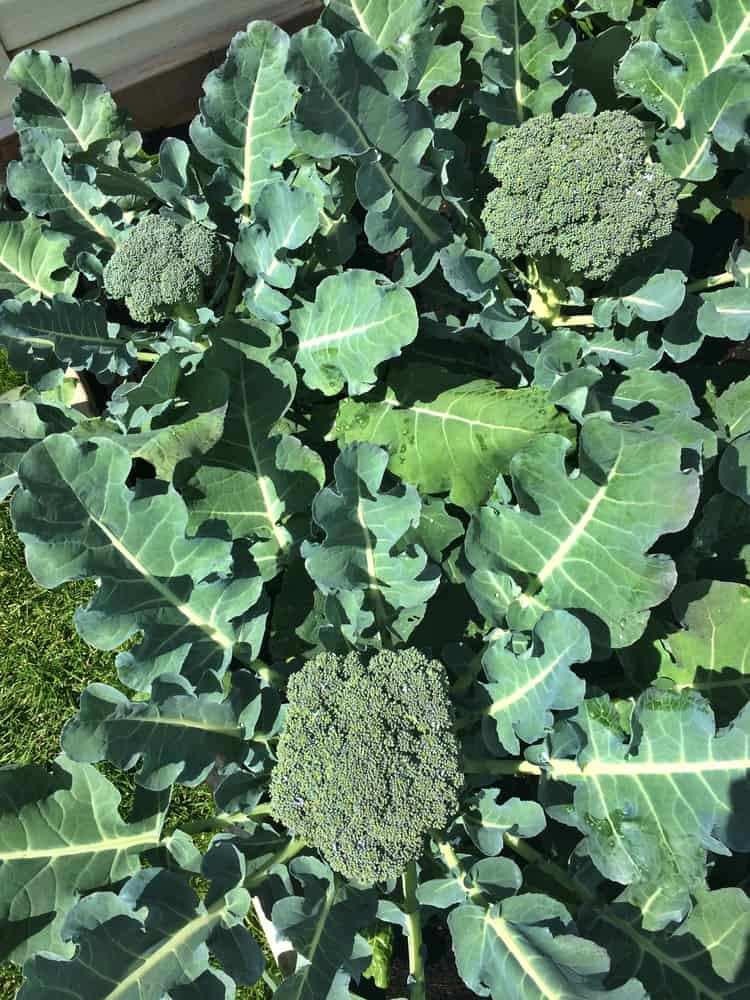 broccoli plants in garden